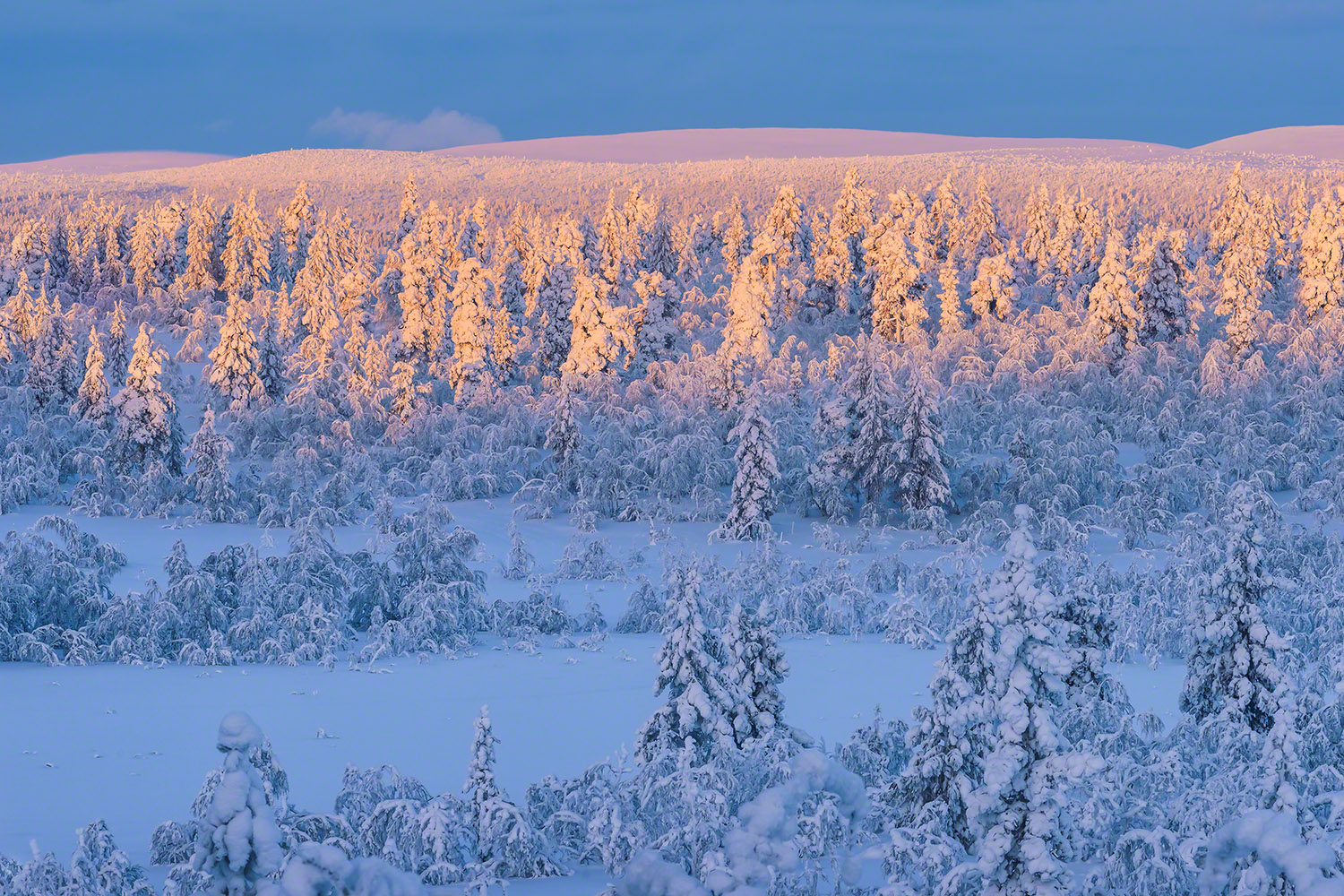 Winter sunset photography. Snow covered trees in Lapland, Finland
