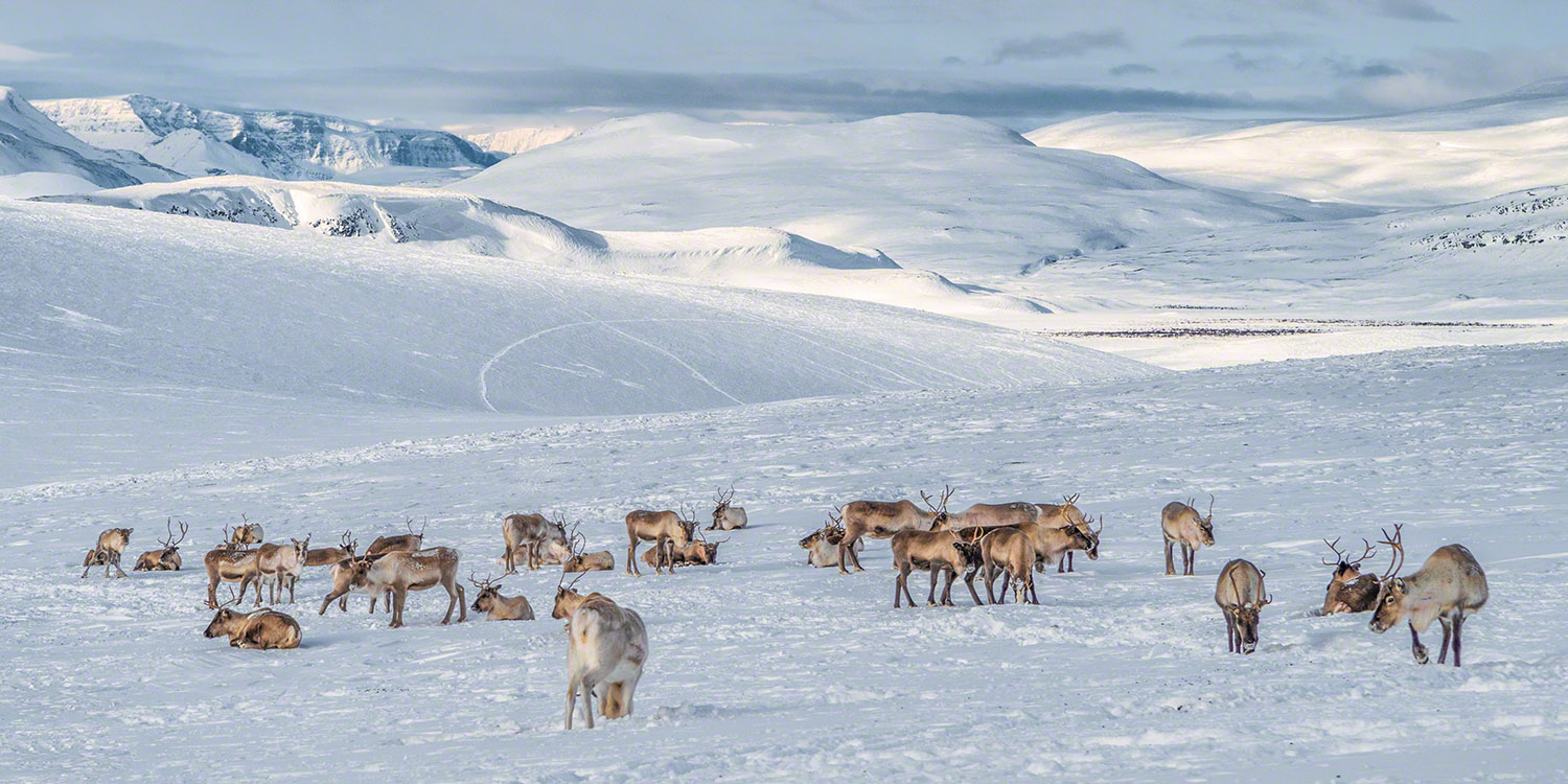 A reindeer herd in the wilderness