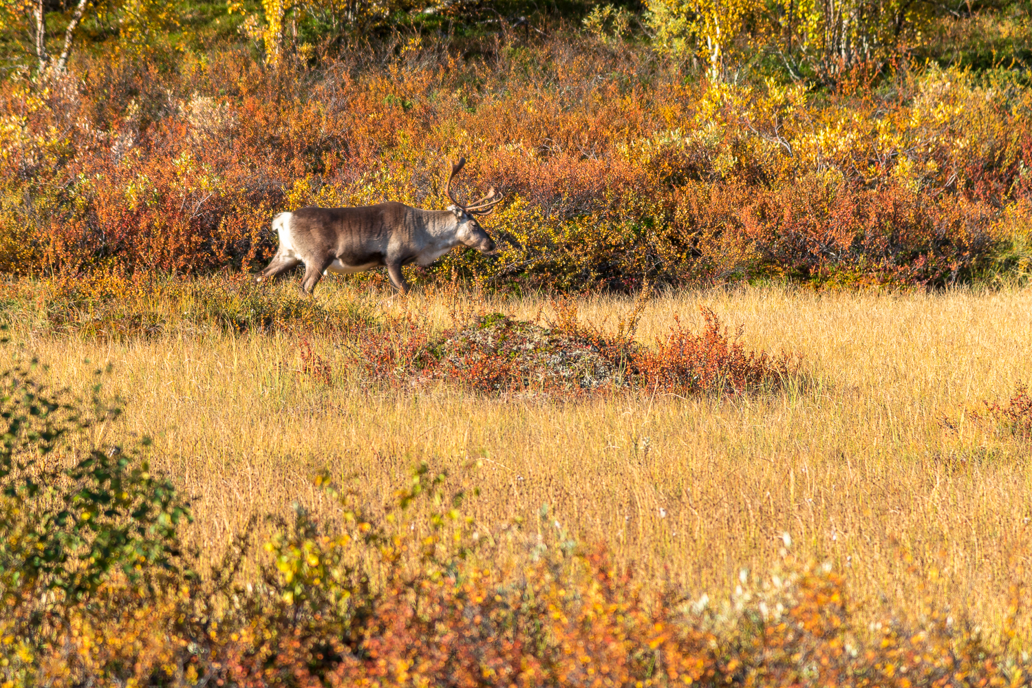 colors of lapland autumn reindeer