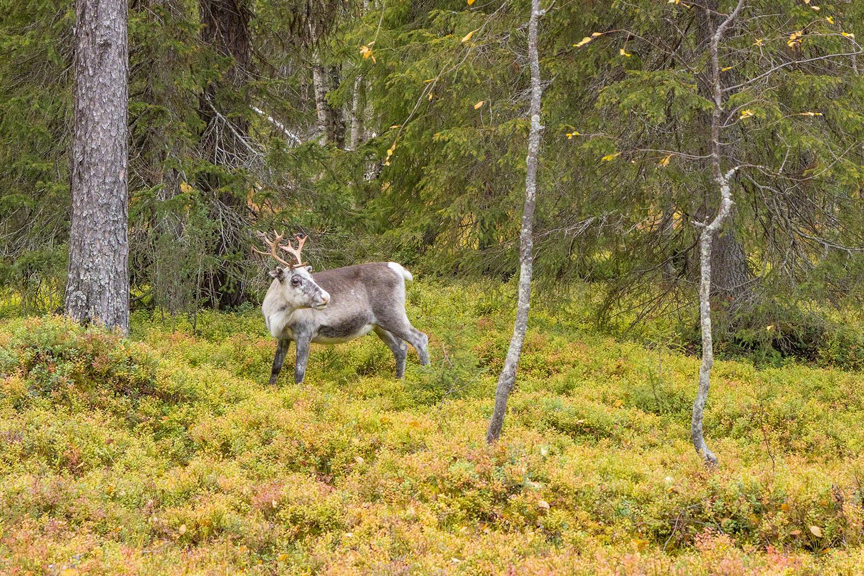 Reindeer / Rentier